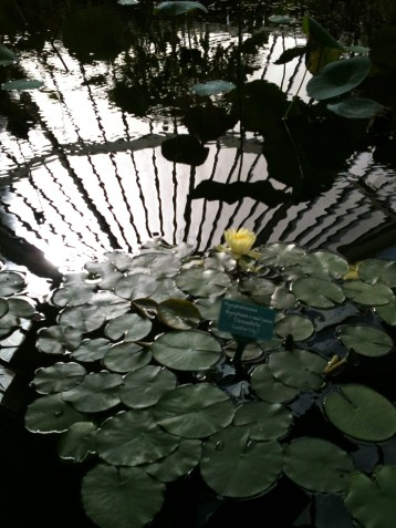Reflection in the Lilly Pond - Wellington Botanical Gardens